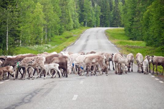 rassegna stampa svedese assosvezia scontro frontale alci renne incidenti ferroviari