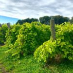vendemmia ottima annata viticoltori svedesi rassegna stampa svedese assosvezia